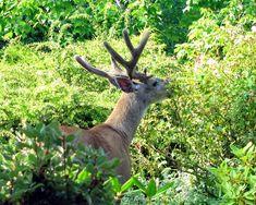 15 Deer-Resistant Plants - FineGardening Deer Resistant Garden, Deer Resistant Perennials, Amur Maple, Colorado Flowers, May Garden, Hillside Garden, Globe Amaranth, Antirrhinum, Plant Guide