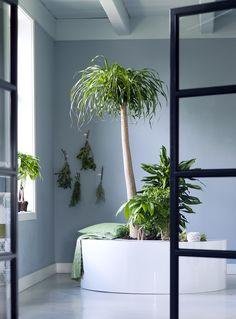 Durch Zimmerbäume wird jeder Raum zu einem grünen Paradies – Pflanzenfreude.de. #pflanzenfreude #zimmerbäume