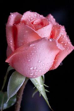 Captivating Why Rose Gardening Is So Addictive Ideas. Stupefying Why Rose Gardening Is So Addictive Ideas. Beautiful Rose Flowers, Amazing Flowers, My Flower, Pink Flowers, Beautiful Flowers, Red Tulips, Cactus Flower, Exotic Flowers, Beautiful Pictures