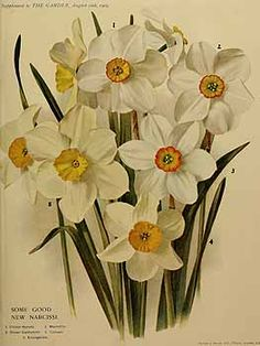 273088 Narcissus / The garden. An illustrated weekly journal of horticulture in all its branches [ed. William Robinson], vol. 73:  (1909)