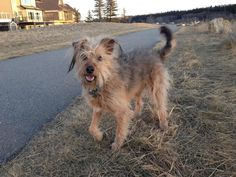 Meet Buddy, a Petfinder adoptable Terrier Dog | Calgary, AB | Buddy is a terrier cross, 5 years old and weighs 19 kg. He was a rescue dog, found in a dumpster in...