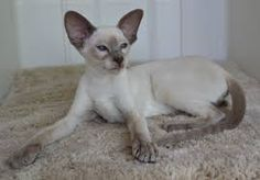 wedge head siamese cat pictures - Google Search