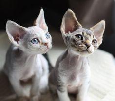 девон рекс котята - Пошук Google