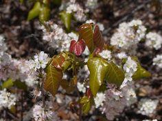 Poison Ivy Barnegat Bay, Poison Ivy, Fruit, Plants, Poison Oak Plant, Plant, Planets