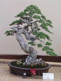 Flowering bonsai plants can be developed from seed or cuttings or also from young trees. Flowering bonsai plants require feeding, watering pruning and training. Bonsai Tree Types, Indoor Bonsai Tree, Mini Bonsai, Bonsai Plants, Bonsai Garden, Succulents Garden, Air Plants, Cactus Plants, Ikebana