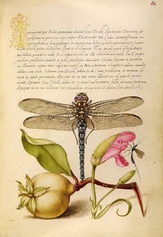 "Joris Hoefnagel Fine Art Print : Illuminated Leaf, The Model Book of Calligraphy (""Dragonfly, Pear"")"