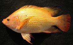 Berbagai Macam Manfaat dari Ikan Nila  - http://gumilang.me/2166/berbagai-macam-manfaat-dari-ikan-nila/