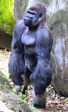 #ZAFanFriday photo from Facebook fan Cheryl C. Rare Animals, Felt Animals, Animals And Pets, Strange Animals, Gorilla Tattoo, Gorilla Gorilla, Types Of Monkeys, Silverback Gorilla, Pet Rats