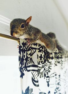 Baby squirrel on curtain rail