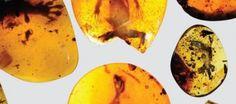 Encuentran el camaleón más antiguo del mundo preservado en ámbar - http://verdenoticias.org/index.php/blog-noticias-curiosidades-verdes/143-encuentran-el-camaleon-mas-antiguo-del-mundo-preservado-en-ambar