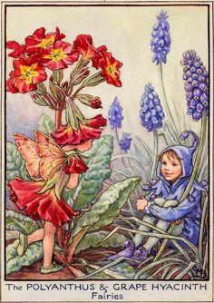 Polyanthus and grape hyacinth flower fairies