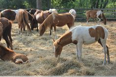 Find out all about the Chincoteague Pony, the breed that inspired the book Misty of Chincoteague! #ponies #horses