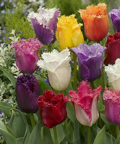 Buy spring bulbs and tulip bulbs from the exclusive collection David Domoney for John Lewis. Ruffled tulip bulbs with feathered petals. Bulb Flowers, Tulips Flowers, Exotic Flowers, Amazing Flowers, Pretty Flowers, Spring Flowers, Diy Flowers, Tulips Garden, Parrot Tulips