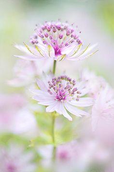 Softly Astrantia | by Jacky Parker on Flickr
