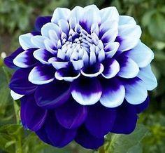 Blue & White Dahlia Flower Seeds  100 SEEDS  | Home & Garden, Yard, Garden & Outdoor Living, Plants, Seeds & Bulbs | eBay!