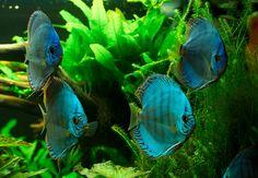 Diskusfische-Diskusfische kaufen Discus Tank, Discus Aquarium, Freshwater Aquarium, Beautiful Fish, Tropical Fish, Boards, Animals, Natural, Google