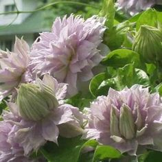 Clematis<br/>Belle of Woking