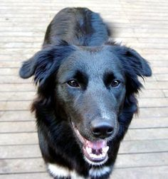 black border collie dogs | getting a dog next week that is a black lab border collie mix and ...