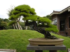 Pine Bonsai   http://www.flickr.com/photos/stonesculpture/4477245893/