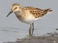: Least Sandpiper ~ such a tiny little guy! 5/23/14 Cape Henlopen lighthouse side