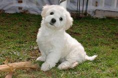 Pictures - Coton de Tulear Puppies