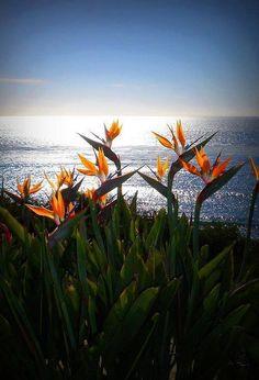Ah, it must be Paradise! The ocean, the sun, the Birds of Paradise... ~~ Houston Foodlovers Book Club