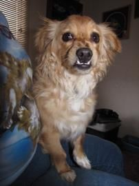 Gotta love the adorable under bite!  This is Munchkin. He is about 1yr 9mo old. Dachshund, Standard Long Haired Spaniel mix. Contact Furry Feet Rescue 610-767-7096