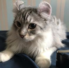 Male and female American Curl cat name ideas. Search best cat names for your American Curl cat. Types Of Cats Breeds, Cat Breeds, American Curl Kittens, Cat Races, Cats And Cucumbers, Cats Bus, Beautiful Cats, Cool Cats, Animal Photography