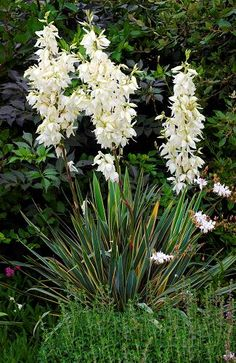 45 best ornamental grass ground covers images on pinterest yucca bright edge or adams needle forms a large evergreen rosette of leathery sword shaped leaves grass green in the center with bright gold edging mightylinksfo