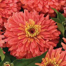 Senora Zinnia- A sizzling new color for zinnias. The 4 inch double blooms are a luscious shade of salmon pink. Free-flowering, heat-tolerant plants are sure to command attention in any flower border. Grows 36 inches tall.