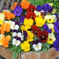 Lista de Flores que crecen en la sombra7: Violeta
