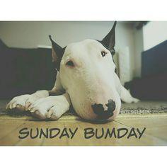 bull terrier Sunday bumday