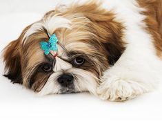 Αποτέλεσμα εικόνας για σιχ τσου puppy cat