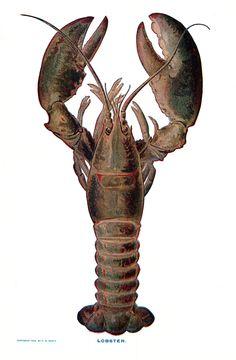 Vintage lobster illustration;
