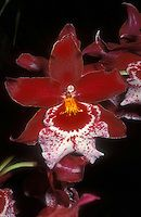One of the most famous and awarded orchid hybrids in the world, Vuylstekeara Cambria 'Plush', FCC/AOS in red and white beauty