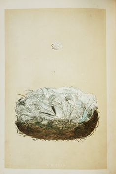Blue Tit Nest & Eggs, Reverend Morris 1800s Original Antique Bird Nest Print