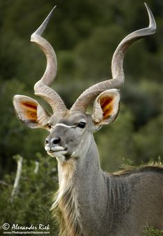 Africa | Greater kudu.  Addo National Park, South Africa | ©Alexander Riek