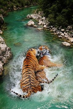 Siberian tigers.What an amazing photograph -  be so stunning to see these in the wild!