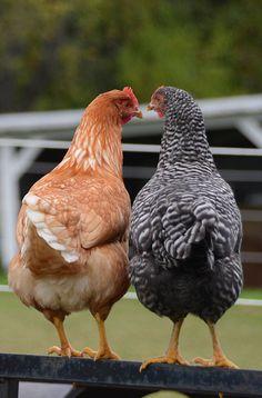 Just a little clucking gossip