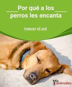 Por qué a los perros les encanta tomar el sol A los perros les encanta tomar el sol. Conoce los beneficios que obtienen con ello. Y también las precauciones que debes tomar. #perro #sol #salud #beneficios