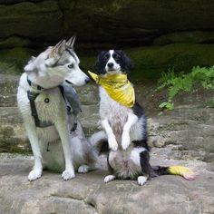 These two are so cute!  Koda the husky from @siberiankoda  #husky #huskygram #huskiesofinstagram #siberianhusky #huskypics #dog #dogsofinstagram #dogs_of_instagram #dogsofig #pet #petsofinstagram #petsofig #petstagram #petsagram #pets_of_instagram #cuteoftheday #dogsandnature #bordercollie #bordercolliesofinstagram #bordercolliemix #sitpretty #toocute #lovedogs