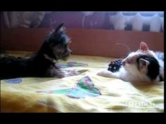 Cute little yorkie just wants his toy back! Playful Dog vs lazy cat video