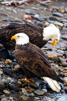 """ "" Bald Eagles on the Nooksack River Dec 2015 "" 💙 "" Beautiful Birds, Animals Beautiful, Nicolas Vanier, Where Eagles Dare, Wild Animals Pictures, Eagle Pictures, Wild Creatures, Tier Fotos, Colorful Birds"