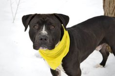 SAFe 03/31/15!  Was TO BE DESTROYED - 03/04/15 Staten Island Center-P  My name is DAYDAY. My Animal ID # is A1028252. I am a male black and white staffordshire mix. The shelter thinks I am about 1 YEAR 1 MONTH old. For more information on adopting from the NYC AC&C, or to  find a rescue to assist, please read the following: http://urgentpetsondeathrow.org/must-read/