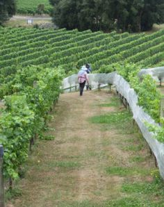 Protecting the vines, Highfield Estate, Marlborough, New Zealand