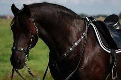 Afbeeldingsresultaat voor barokke paarden