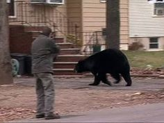 A cable TV repairman working in a New Jersey basement heard a growl and turned to see a 500-pound black bear appraising his performance.