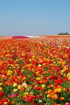 Carlsbad, California.... Flower Fields