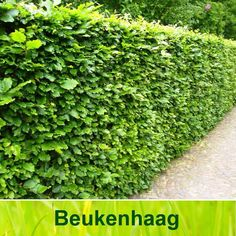 Beukenhaag verliest geen blad Buy Flowers Online, Buy Plants Online, Trees And Shrubs, Trees To Plant, Dragon Tree, Online Flower Delivery, Garden Shrubs, Outdoor Plants, Go Outside