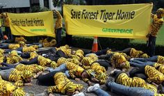 """Appears Greenpeace have upset someone!   Keep it up Greenpeace!!    As fallout from its campaign against Asia Pulp & Paper grows, Greenpeace's critics have opened a new front on the environmental group, accusing it of """"embezzlement"""", reports Mongabay-Indonesia."""
